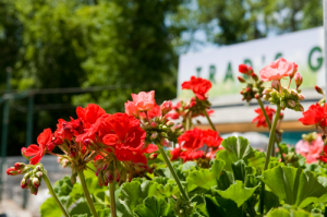 geraniums-in-front
